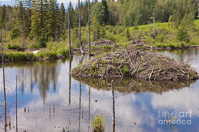 Landscapes Royalty-Free and Rights-Managed Images - Castor canadensis beaver lodge in taiga wetlands by Stephan Pietzko