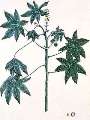 Ink On Paper Painting - Castor Oil Plant by Indian School
