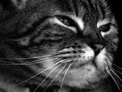 Photograph - Cat Dreams Contrast by MTBobbins Photography