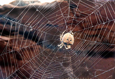 Art Print featuring the photograph Cat Faced Spider by Tarey Potter