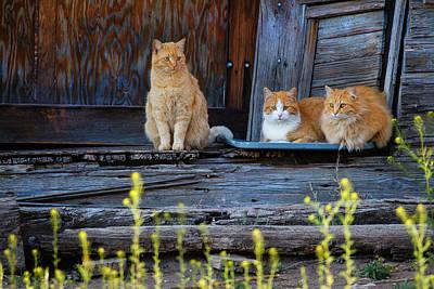 Cat (felis Catus Art Print