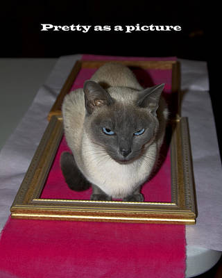 Tonkinese Cat Photograph - Cat Framed by Sally Weigand