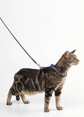 Pet Care Photograph - Cat In Harness by John Daniels