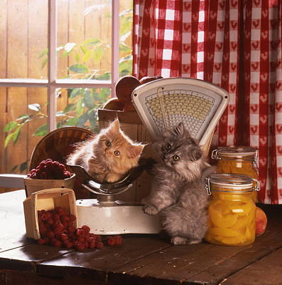 Kitchen Mark Rogan Rights Managed Images - Cat in the kitchen Royalty-Free Image by Patrick Hoenderkamp