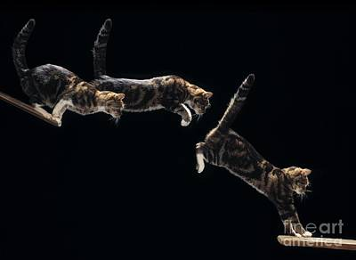 Photograph - Cat Leaping Sequence by Stephen Dalton