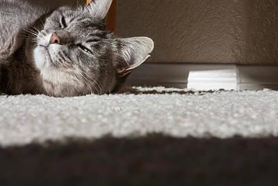 Gray Tabby Photograph - Cat Posing by Zandria Muench Beraldo