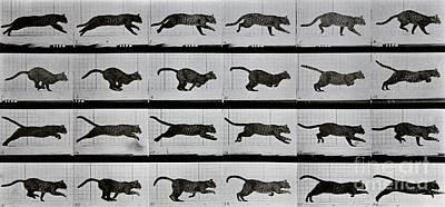 Motion Poster Photograph - Cat Running by Eadweard Muybridge