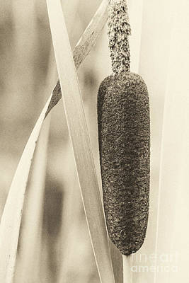 Photograph - Cat Tail by Jim Rossol