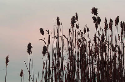 Photograph - Cat Tails At Sunset by Margie Avellino