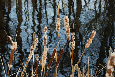 Photograph - Cat Tails In Winter by Margie Avellino