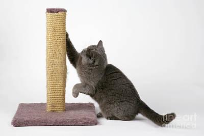 Pet Care Photograph - Cat Using Scratching Post by John Daniels