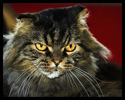 Photograph - Cat With An Attitude by Robert Culver