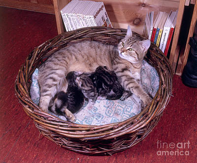 Baby In Basket Photograph - Cat With Kittens by Hans Reinhard/Okapia