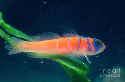 Catalina Goby Art Print by Gregory G. Dimijian, M.D.