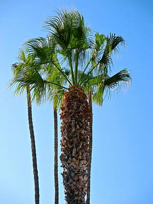 Photograph - Catalina Palm by Jeff Gater