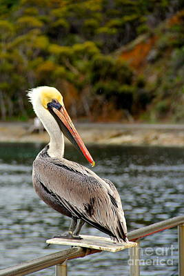 Photograph - Catalina Pelican In The Rain by Suzanne Oesterling