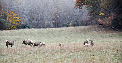 Photograph - Cataloochee Valley Elk Herd by Craig T Burgwardt