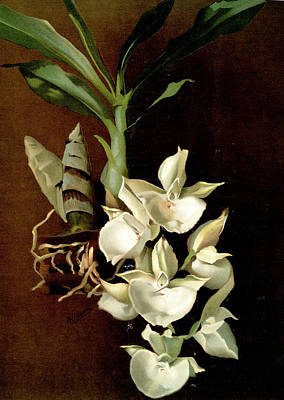Botanica Drawing - Catasetum Bungerothii, Sander, F. Frederick by Artokoloro