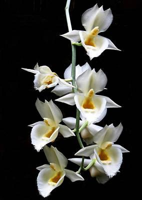 Photograph - Catasetum Pileatum Orchid  by Rudy Umans
