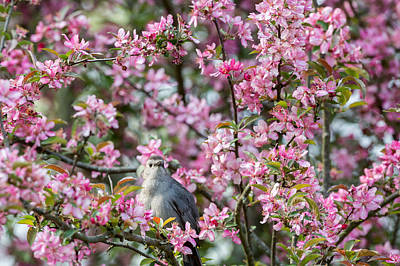 Catbird Photograph - Catbird In A Pear Tree by Bill Wakeley