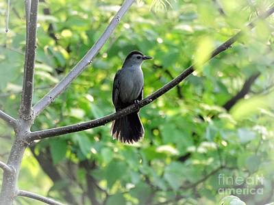 Photograph - Catbird In The Spring by Gena Weiser