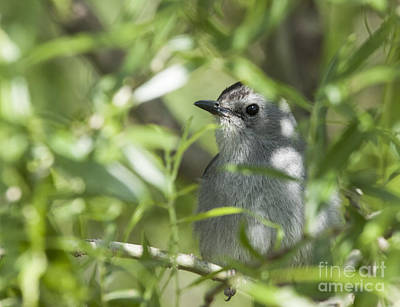 Photograph - Catbird Sitting In A Bush by Jeannette Hunt