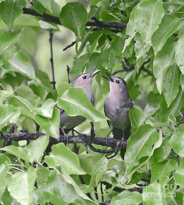 Photograph - Catbirds In Love  by Kerri Farley