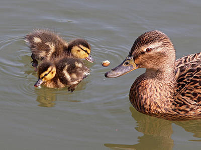Baby Mallards Photograph - Catch by Gill Billington