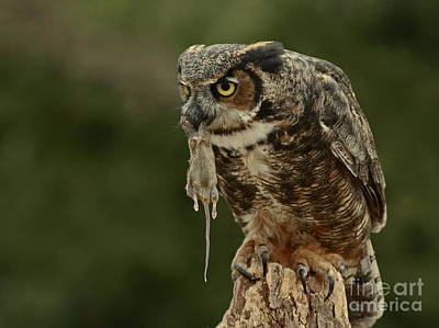 Catch Of The Day - Great Horned Owl  Art Print