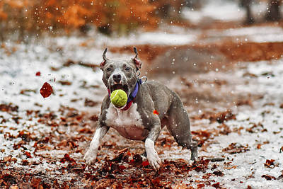 Pitbull Wall Art - Photograph - Catch The Ball. by Davorin Volav?ek