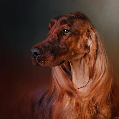 Photograph - Catching The Breeze - Irish Setter by Jai Johnson