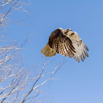 Red-tailed Hawk Photograph - Catching The Sun Square by Bill Wakeley
