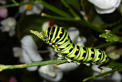 Photograph - Caterpillar Camouflage by Bill Swartwout Photography