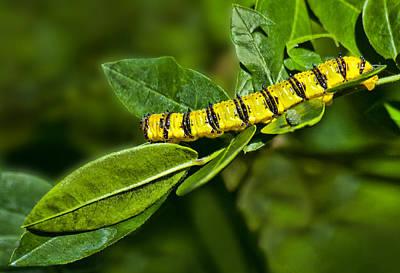 Photograph - Caterpillar Feeding by Don Durfee