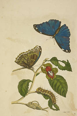 Caterpillar Feeding On A Leaf Print by British Library