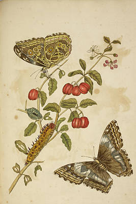 Caterpillar Feeding On A Plant Print by British Library