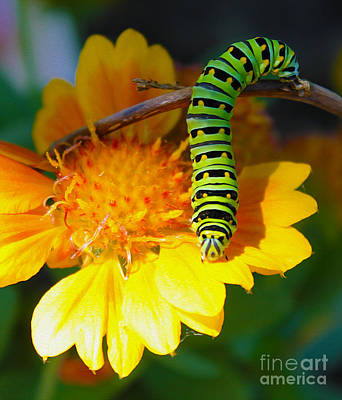 Photograph - Caterpillar On The Prowl by Nina Silver