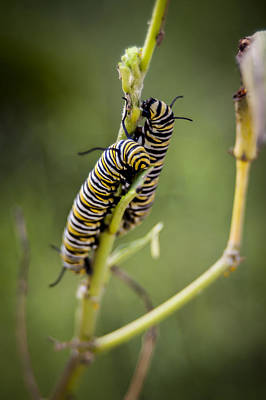 Photograph - Caterpillars Breaking Free by Carolyn Marshall