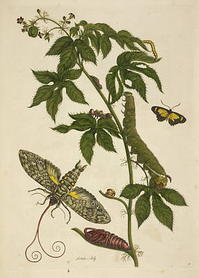 Caterpillars Feeding On A Plant Print by British Library