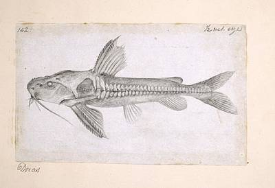 Russel Ray Photograph - Catfish, Artwork by Science Photo Library