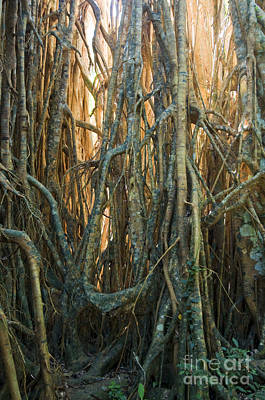 Strangler Fig Photograph - Cathedral Fig In Australia by William H. Mullins