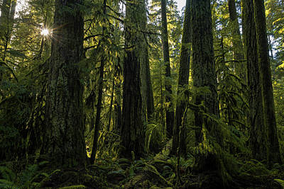 Cathedral Grove, Macmillan Provincial Art Print by Robert Postma