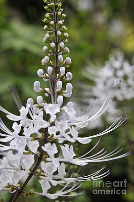 Photograph - Cat's Whisker Flower In Garden by Sami Sarkis