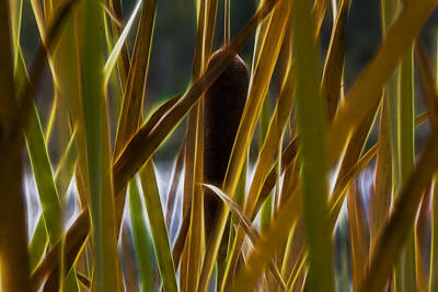 Photograph - Cattail 2 by Albert Seger