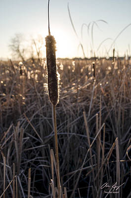 Photograph - Cattail by Aaron Spong
