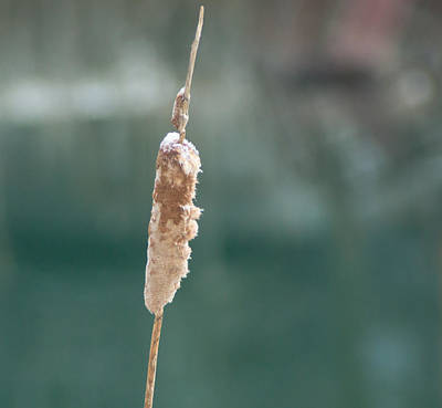 Winter Photograph - Cattail Close Up by Photographic Arts And Design Studio