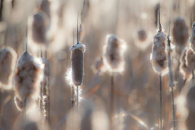 Photograph - Cattail Light 2 by Leland D Howard