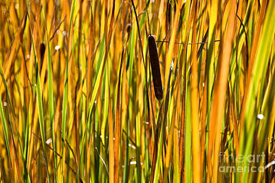 Valentines Day - Cattails aflame by Cheryl Baxter