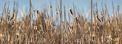 Photograph - Cattails Against Blue by Leda Robertson