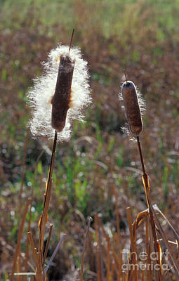 Photograph - Cattails by Dan Suzio